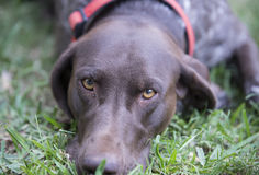Portrait of a German Shorthaired Pointer. Stock Photo