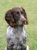 The portrait of German Spaniel dog Stock Photography