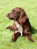 The portrait of German Spaniel on a green grass lawn Stock Image