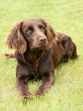 The portrait of German Spaniel on a green grass lawn Stock Images