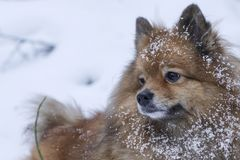 Portrait of a German Spitz in the snow royalty free stock images