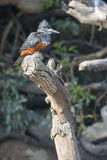 Portrait of giant kingfisher Stock Photography