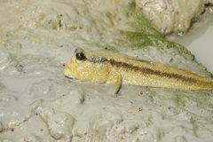 Portrait of Giant Mud Skipper Royalty Free Stock Photography