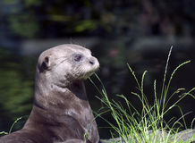 Portrait of a Giant Otter Stock Image