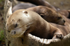 Portrait of giant otter Stock Photography