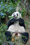 Portrait of giant panda ,Ailuropoda melanoleuca, or Panda Bear. Close up of giant panda lying and eating bamboo royalty free stock photos
