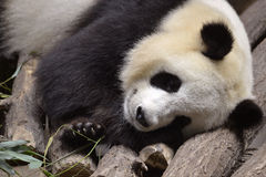 Portrait of giant panda Royalty Free Stock Photo