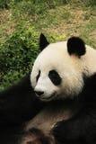 Portrait of giant panda bear Royalty Free Stock Photos