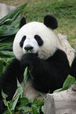 Portrait of giant panda bear eating bamboo Royalty Free Stock Photography