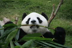 Portrait of giant panda bear eating bamboo Stock Photos
