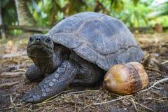Portrait of a giant tortoise 2 Stock Photos
