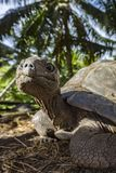 Portrait of a giant tortoise 5 Stock Photography