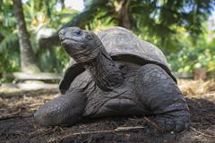 Portrait of a giant tortoise 33 Royalty Free Stock Photography