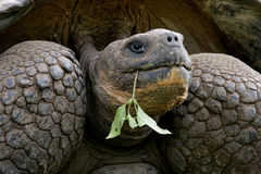 Portrait of giant tortoises. The Galapagos Islands. Pacific Ocean. Ecuador. An excellent illustration Stock Photography