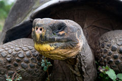 Portrait of giant tortoises. The Galapagos Islands. Pacific Ocean. Ecuador. Royalty Free Stock Images