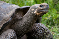 Portrait of giant tortoises. The Galapagos Islands. Pacific Ocean. Ecuador. Stock Photo