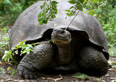 Portrait of giant tortoises. The Galapagos Islands. Pacific Ocean. Ecuador. Royalty Free Stock Photography