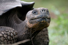 Portrait of giant tortoises. The Galapagos Islands. Pacific Ocean. Ecuador. Stock Photography
