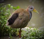 Portrait of a Giant Wood Rail at the water's edge. royalty free stock image