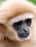 Portrait of Gibbon Stock Image