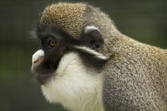 Portrait of a Gibbon from the left Royalty Free Stock Image