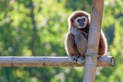 Portrait of a gibbon monkey stock image
