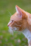 Portrait of a ginger cat royalty free stock photos