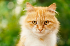Portrait of ginger cat Royalty Free Stock Photography