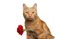Portrait of ginger cat brought flower as a gift. Close-up Portrait of Ginger Cat Lover Brought Flower as a gift isolated on white background, front view Royalty Free Stock Photo