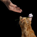 Portrait of ginger cat brought flower as a gift to woman. Close-up Portrait of gentleman Cat Lover Brought Flower as a gift to woman hand isolated on black Stock Image