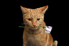 Portrait of ginger cat brought rose as a gift Royalty Free Stock Photos