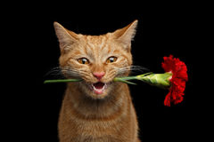 Portrait of ginger cat brought rose as a gift Royalty Free Stock Images