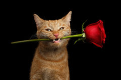 Portrait of ginger cat brought rose as a gift. Close-up Portrait of Ginger Cat Lover Brought Flower as a gift in Mouth with smile isolated on black background Royalty Free Stock Photography