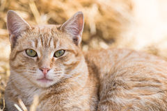 Portrait of Ginger Cat Royalty Free Stock Photo