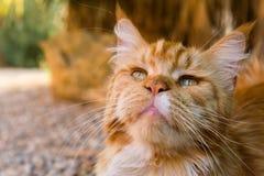 Portrait of ginger cat Stock Photo