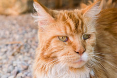 Portrait of ginger cat Stock Images
