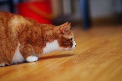Portrait of  ginger cat Stock Photography