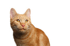 Portrait of ginger cat on Isolated white background. Portrait of Satisfied Ginger Cat Stare up on Isolated white background, front view Royalty Free Stock Image