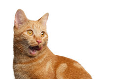 Portrait of ginger cat on Isolated white background Royalty Free Stock Photo