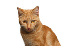 Portrait of ginger cat on Isolated white background Stock Photos