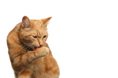 Portrait of ginger cat on Isolated white background Stock Photo