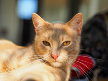 Portrait of ginger cat looking at camera royalty free stock photo