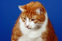Portrait ginger cat Stock Photo