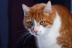 Portrait of ginger European cat Stock Image