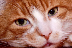 Portrait of ginger European cat Royalty Free Stock Photography