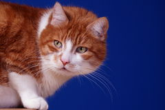 Portrait of ginger European cat Stock Photography