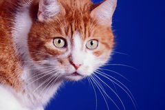 Portrait of ginger European cat Royalty Free Stock Photos