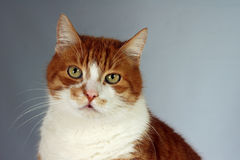 Portrait of ginger European cat Royalty Free Stock Photo