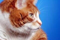 Portrait of ginger European cat Stock Image