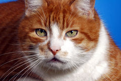 Portrait of ginger European cat Royalty Free Stock Images